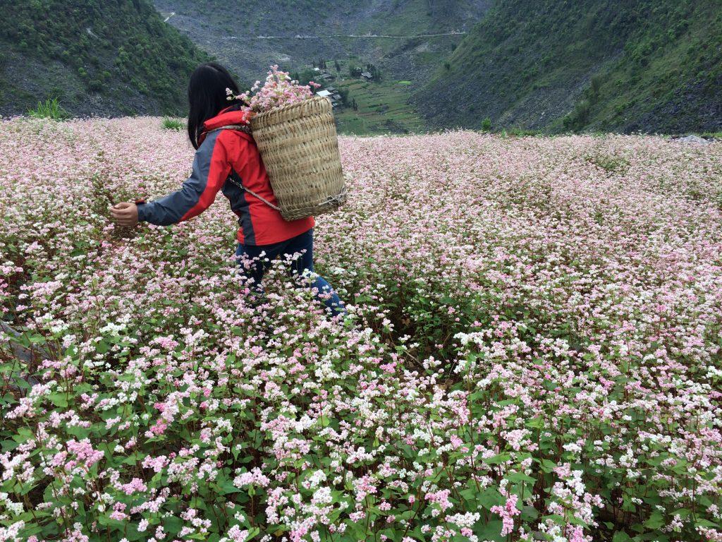 Sắc hoa Hồng của hoa tam giác mạch nở trên đường vào Khau Vai, Mèo Vạc