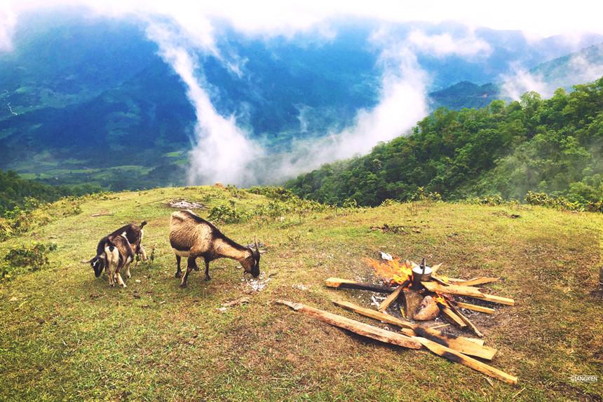 đàn dê trắng nhởn nhơ quanh đồi