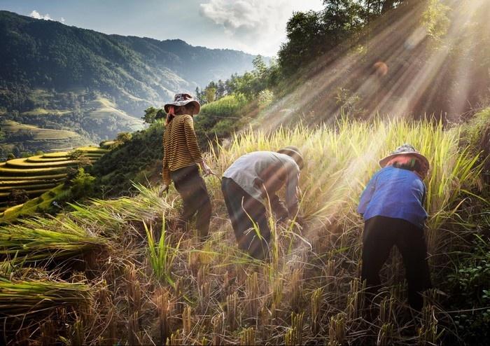Hoàng Su Phì mùa gặt lúa đẹp ngất trời