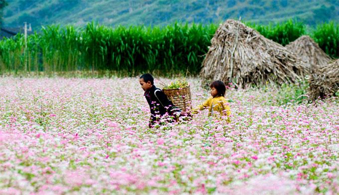 Tháng 11 ta lại có hẹn với hoa tam giác mạch Hà Giang