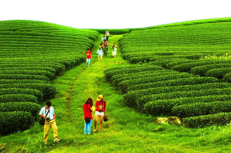 Đồi chè là nơi thu hút du khách đến chụp ảnh nhiều nhất ở Mộc Châu
