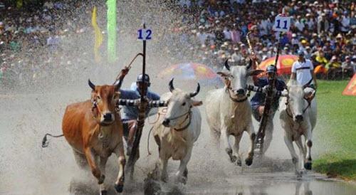 Hội đua bò bảy núi - Lễ hội du lịch An Giang