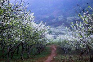 Thung lũng hoa mận ở Mộc Châu. Ảnh: Đỗ Công Khanh