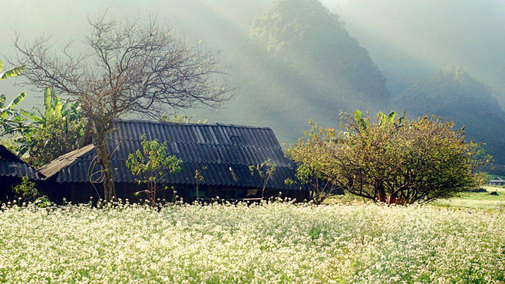 Bản Thông Cuông mùa cải trắng
