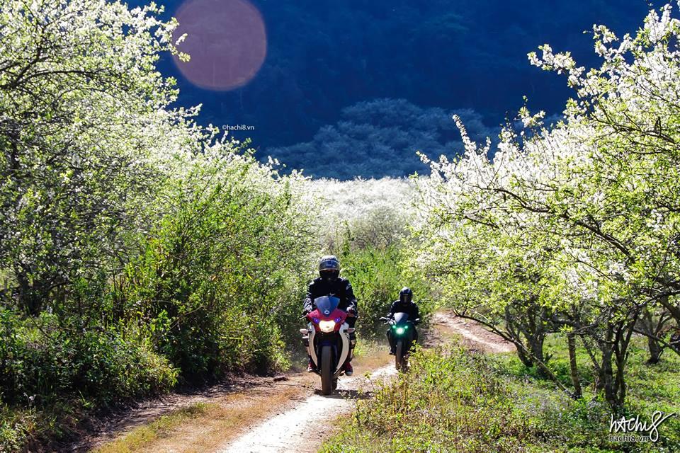 Mùa hoa mận ở Mộc Châu. Ảnh Ngô Chí Hòa