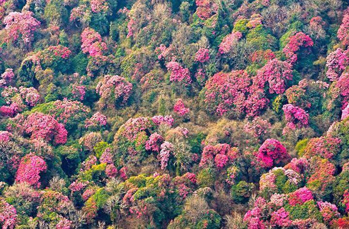 Sapa mùa hoa đỗ quên đỏ rực trời trên dãy Hoàng Liên Sơn