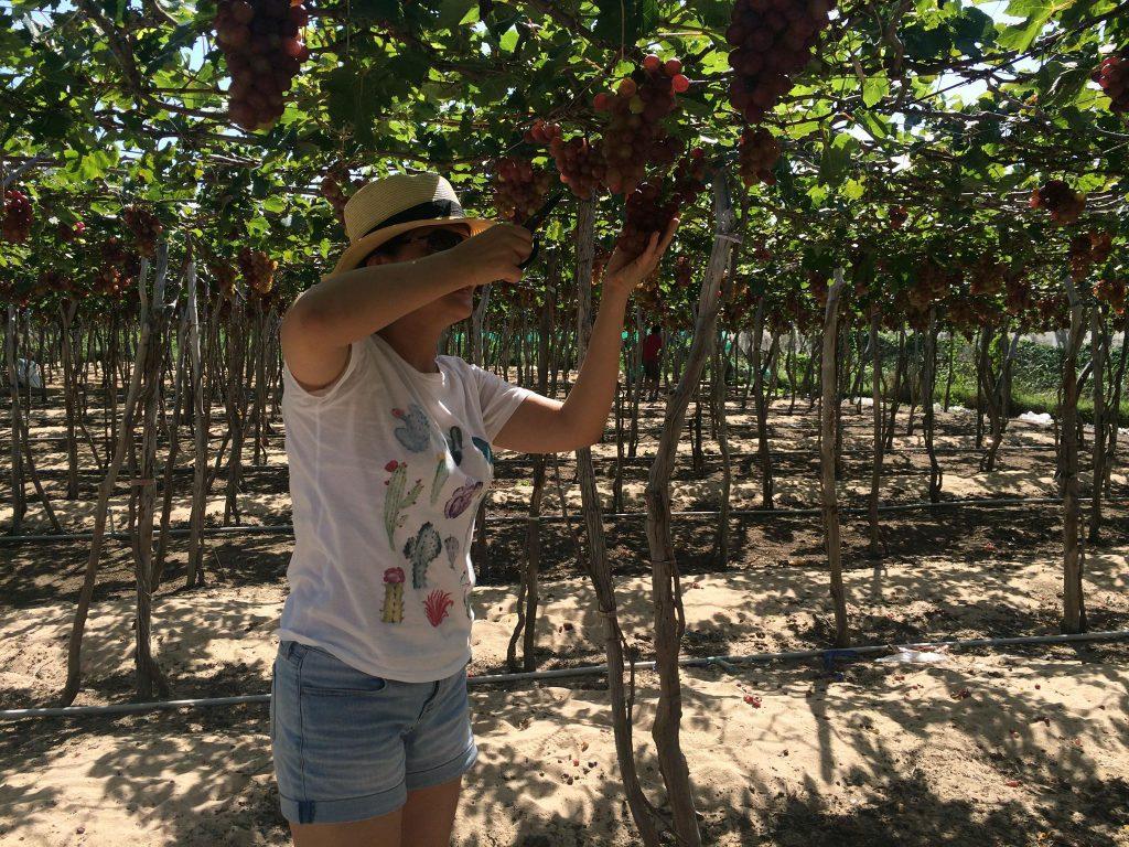 Trải nghiệm cắt nho tại vườn khi một trong những trải nghiệm nên thử khi đi du lịch Tuy Phong